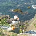Treshnish Isles, Lunga - Puffin