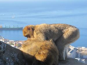 019 Małpy wypinają się na rojalistów