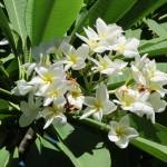 027 Plumeria Rubra z Meksyku